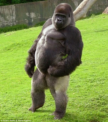 ambam-the-swaggering-silverback-gorilla-who-walks-around-his-pen-on-two-legs-1